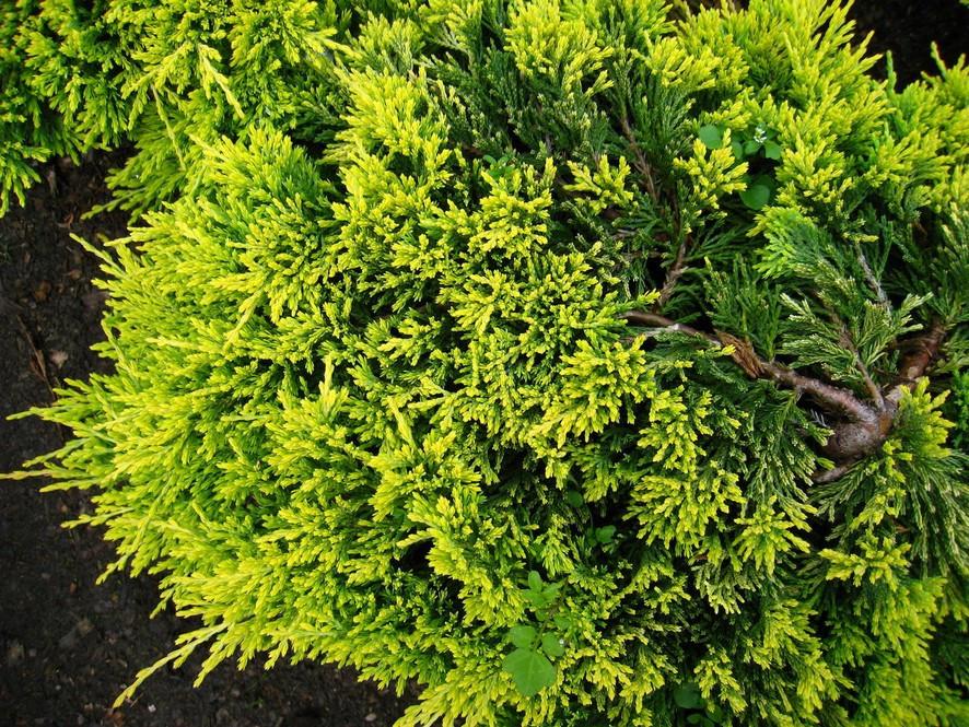 Juniperus hor Golden Carpet_2.jpg