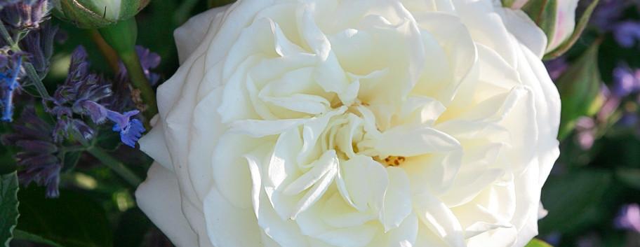 Rosa Alabaster2.jpg