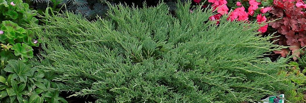 Можжевельник горизонтальный 'Andorra Compact'  (Juniperus hor. 'Andorra Compact