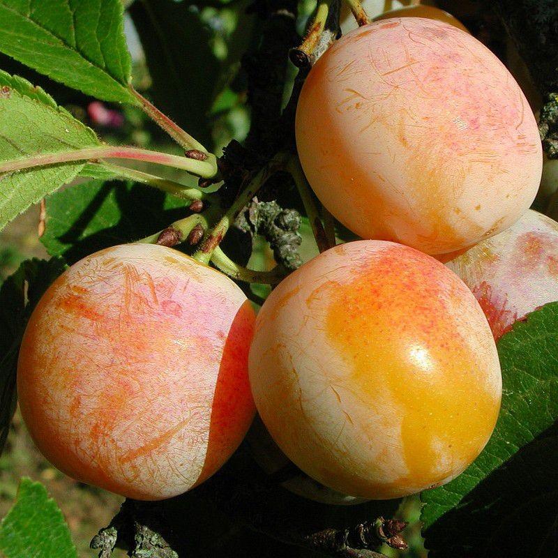 Prunus domestica Mirabelle de Nansy2.jpg