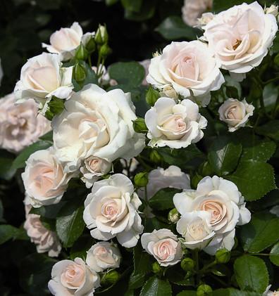 Rosa Aspirin2.jpg