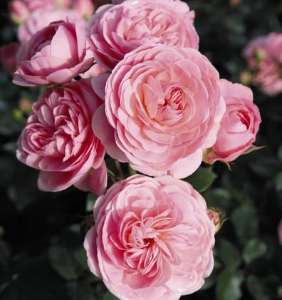 Rosa Bailando2.jpg
