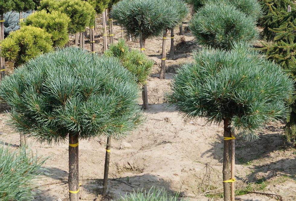 Сосна обыкновенная Pinus sylvestris 'Lodge Hill'