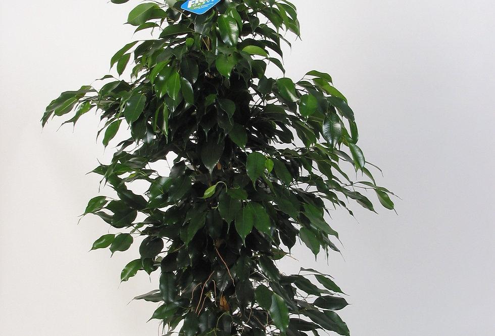 Ficus Danielel