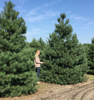 Pinus Sylvestris Norska1.jpg