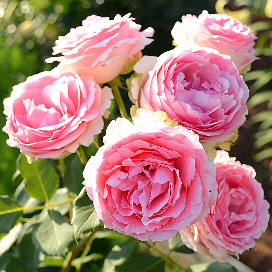 Rosa First Lady_2.jpg