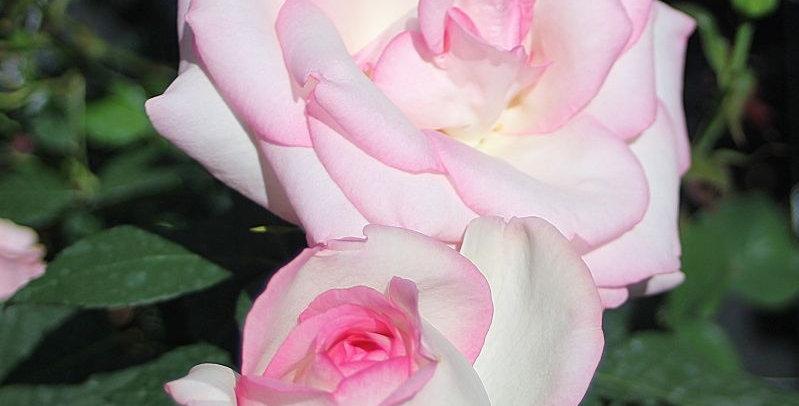 Rosa tea hybrid Biedermeier Garden