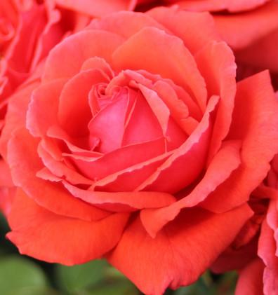 Rosa Duftwolke1.jpg