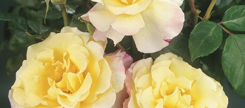 Rosa Aquarell3.jpg