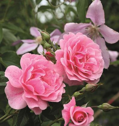 Rosa Camelot_1.jpg