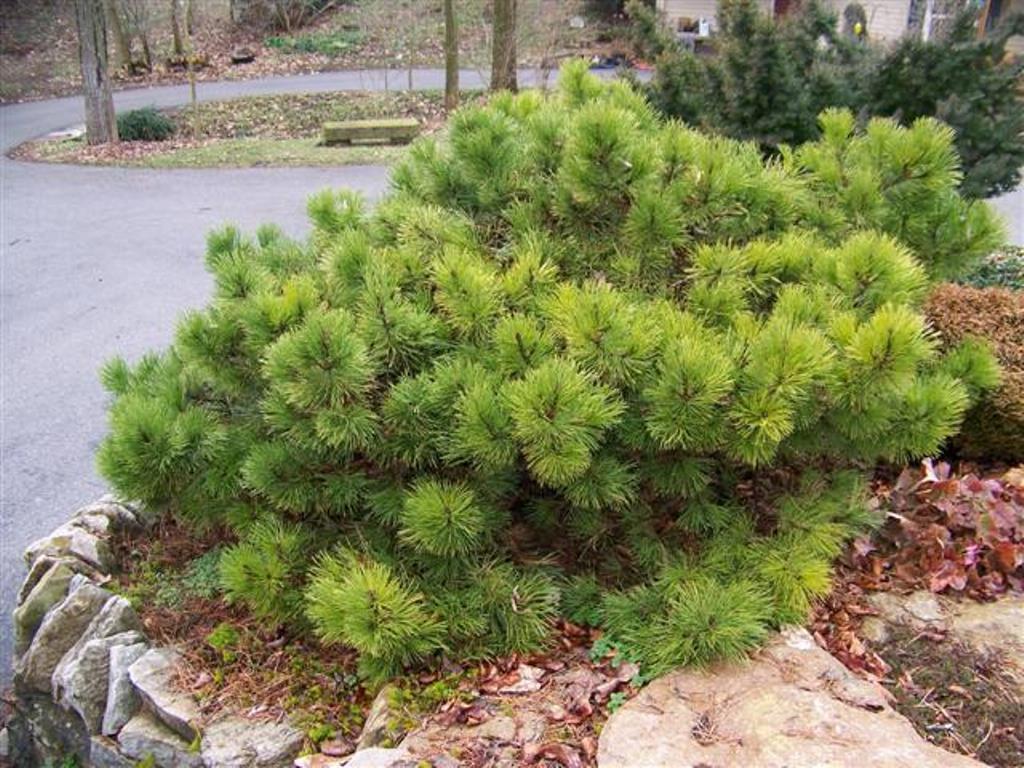 Pinus nigra Hornibrookiana_3.JPG