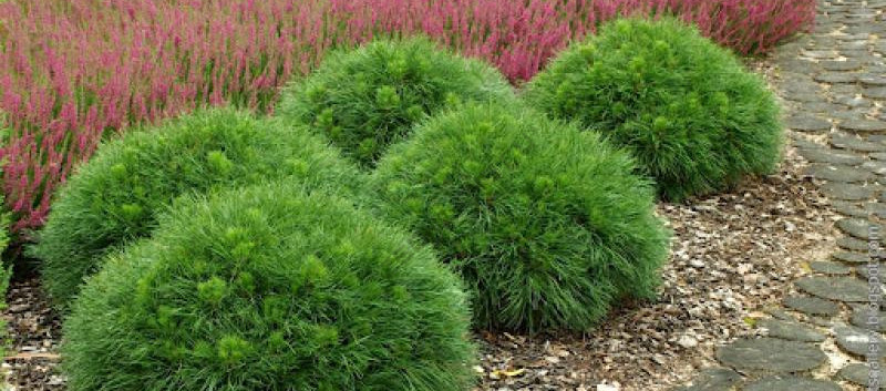 Pinus mugo Varella_3.jpg