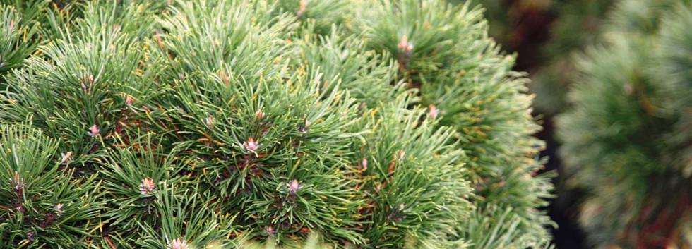 Pinus mugo Varella_2.jpg
