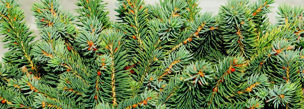 Picea glauca Echiniformis_2.JPG