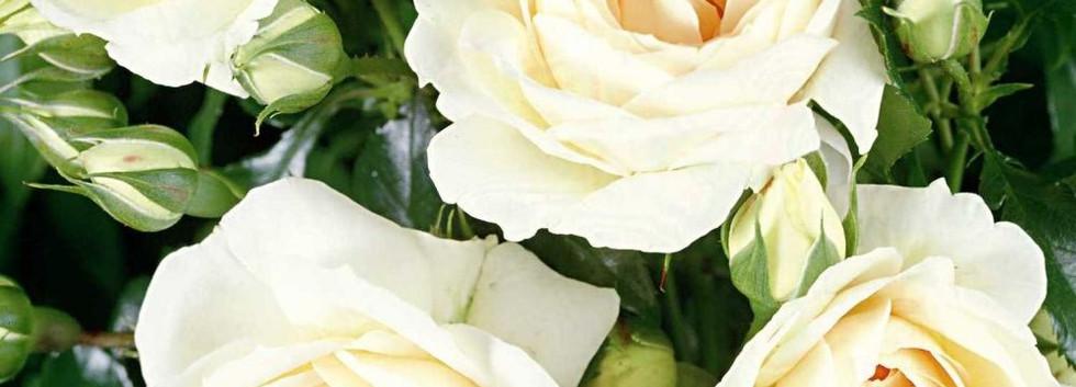 Rosa Marie Antoinette3.jpg