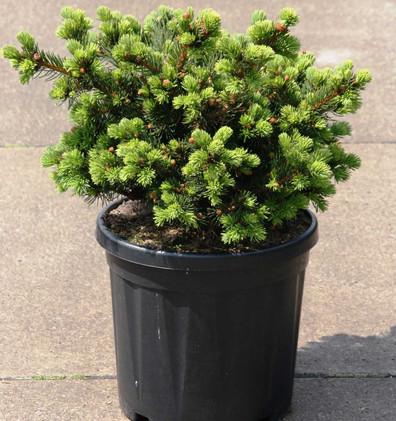 Picea pungens Lucky Strike_1.jpg