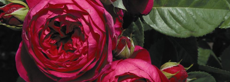 Rosa Ascot_1.jpg