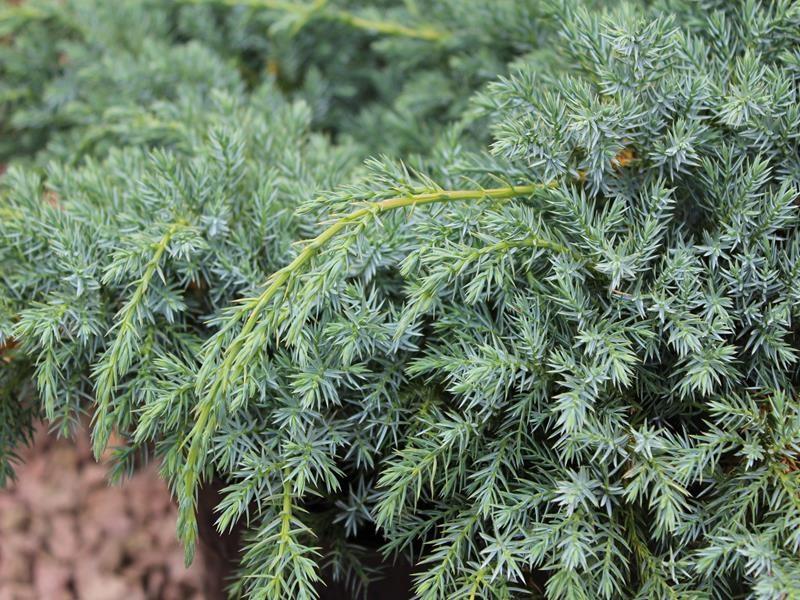 Juniperus squam Blue Swede_2.jpg