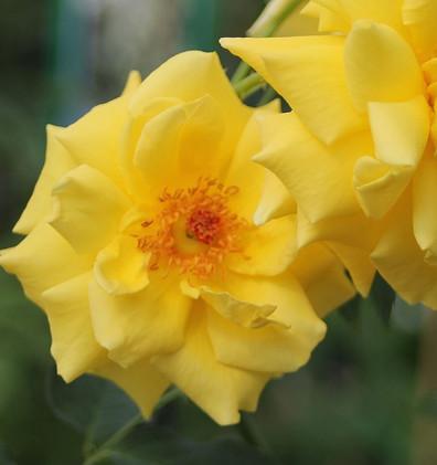 Rosa Goldstern2.jpg