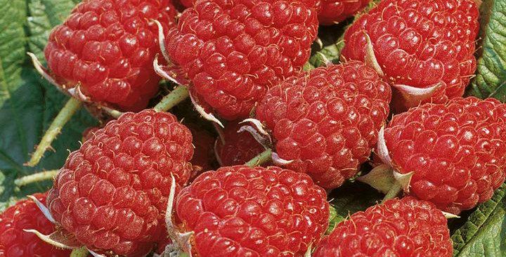 Малина Глен Эмпл (Rubus idaeus Glen Ample)