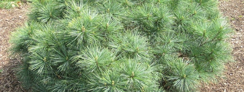 Сосна Веймутова Blue Shag  Pinus strobus Blue Shag