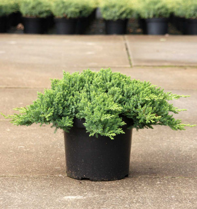Juniperus procumbens Nana_1.jpg