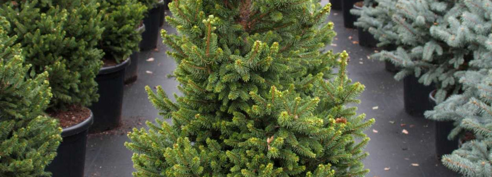 Picea abies Will's Zwerg_1.jpg