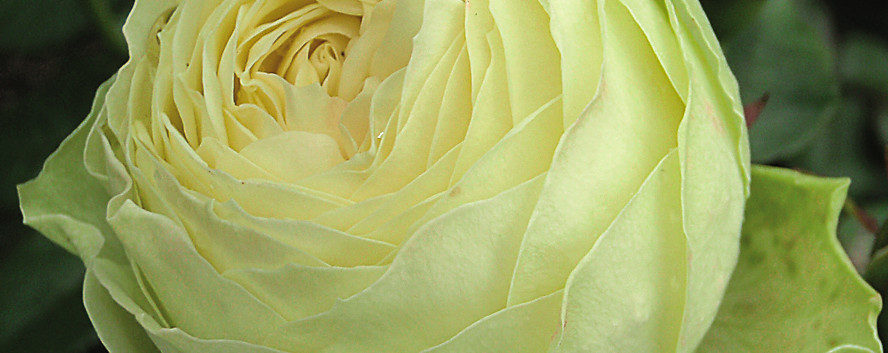 Rosa Lemon Rokoko2.jpg
