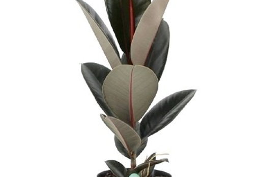 Ficus Abidjan