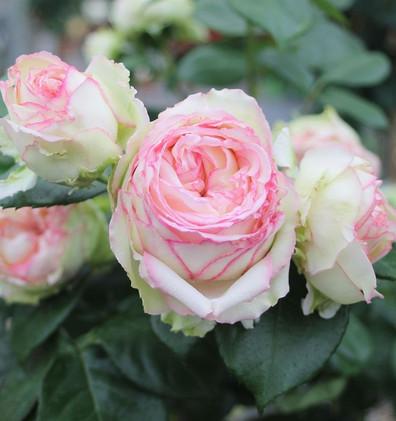 Rosa Biedermeier Garden2.jpg
