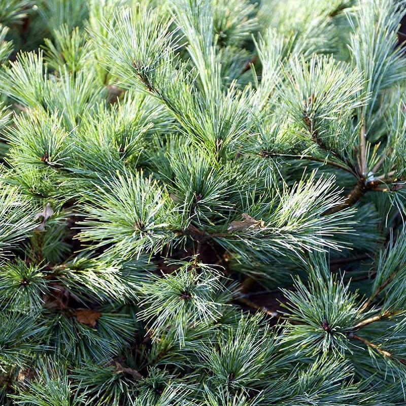Pinus strobus Minima_2.jpg
