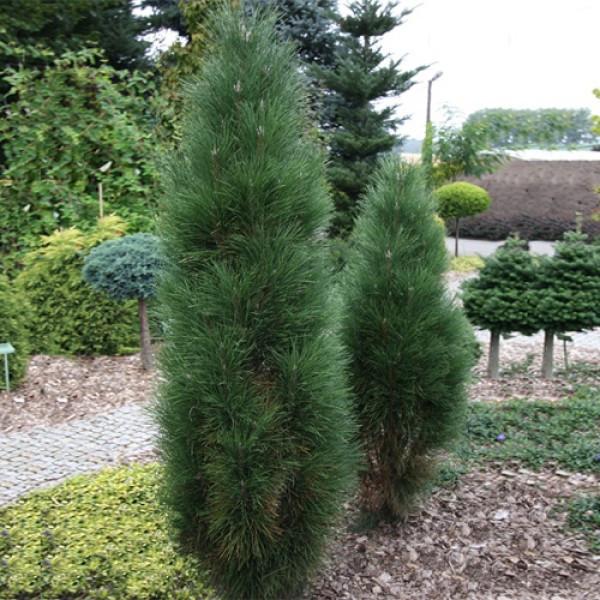 Pinus nigra Green Rocket_3.jpg