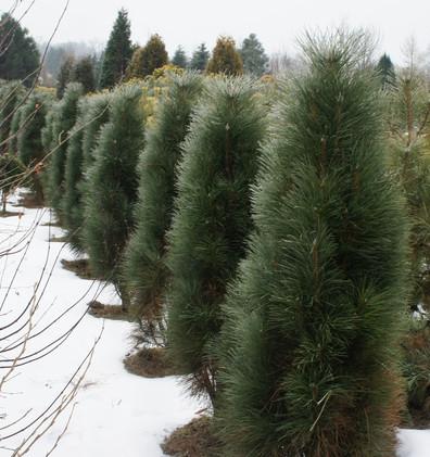 Pinus nigra Green Rocket_1.jpg