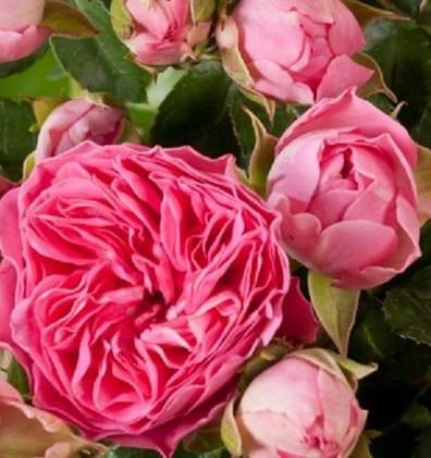 Rosa Candy Rokoko2.jpg
