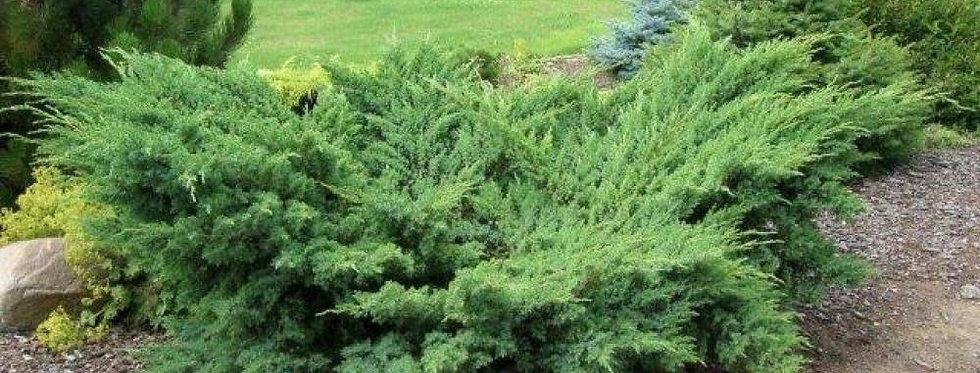 Можжевельник Чешуйчатый Блю Швед  (Juniperus squamata Blue Swede)