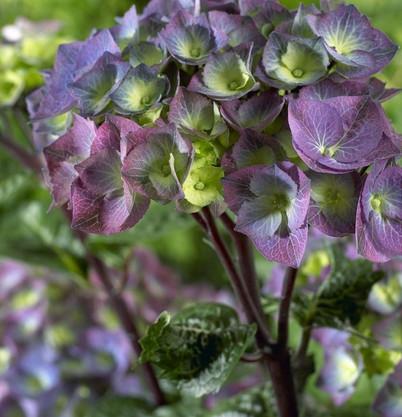 Hydrangea macr. Blacksteel Blue..jpg