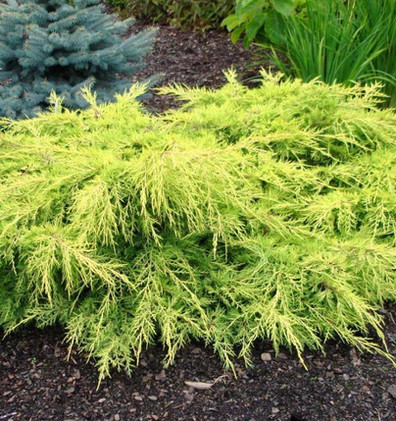 Juniperus media Gold Star1.jpg