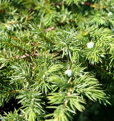 Juniperus conferta Schlager2.jpg