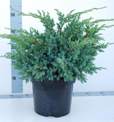 Juniperus squam Blue Swede_1.jpg