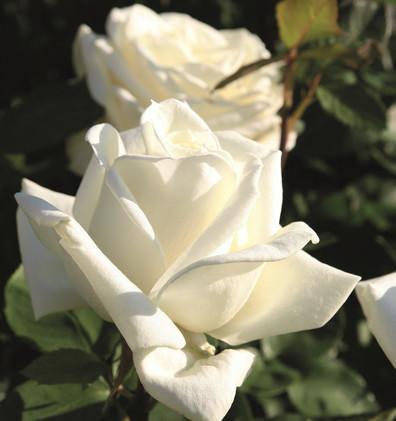 Rosa Polarstern1.jpg