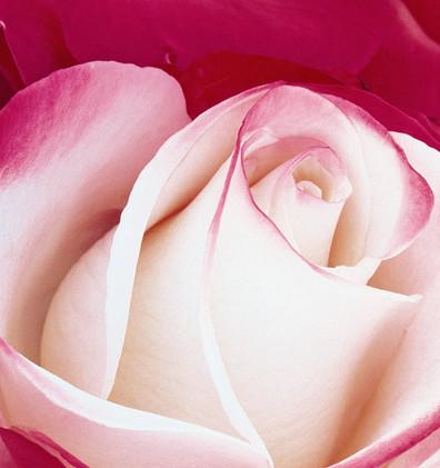 Rosa Nostalgie3.jpg