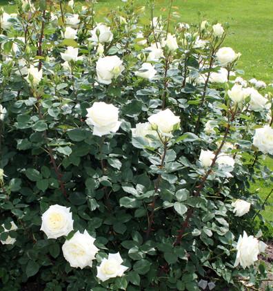 Rosa Polarstern3.jpg