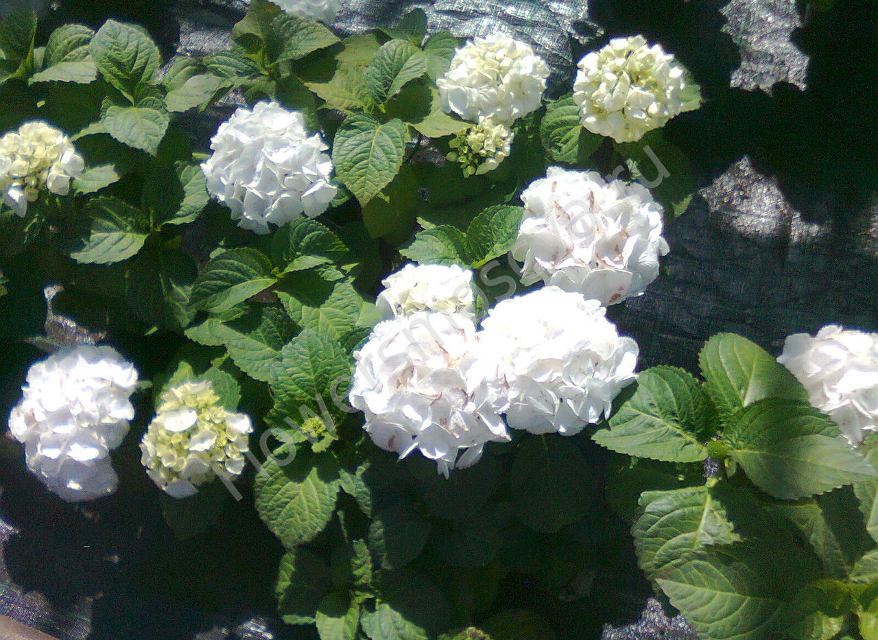 Hydrangea_macrophylla_Mad._Emile_Mouillè