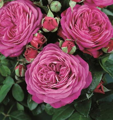 Rosa Heidi Klum1.jpg