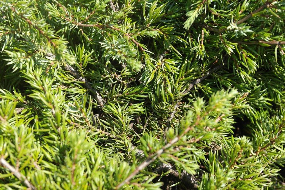 Juniperus communis Repanda_2.jpg