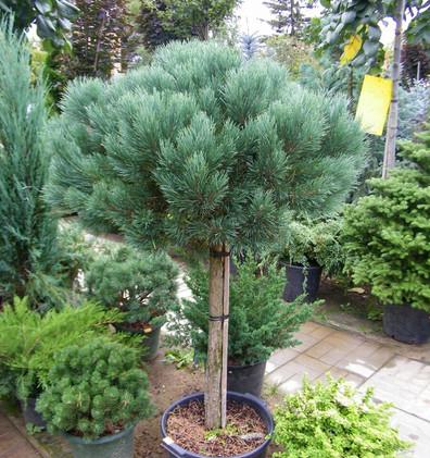 Pinus Sylvestris Watereri штамб3.jpg