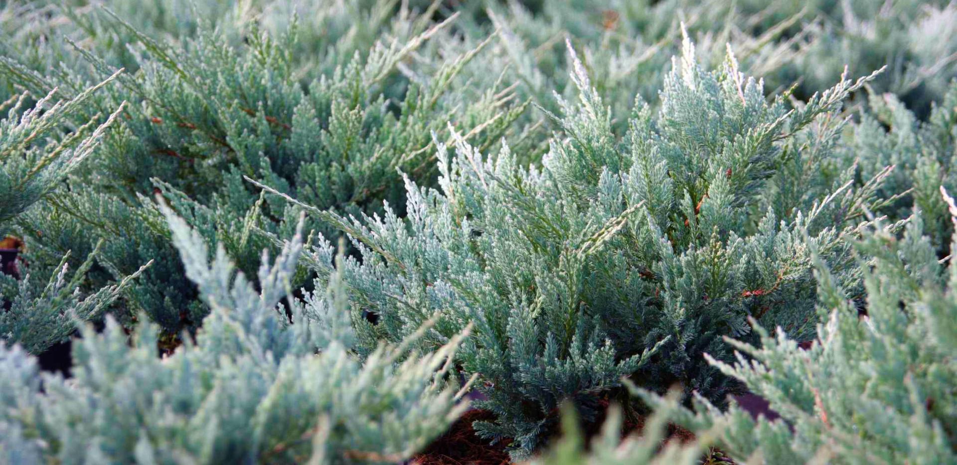 Juniperus hor Blue Chip_2.jpg