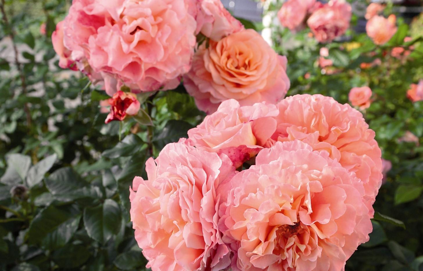 Rosa Augusta Luise2.jpg