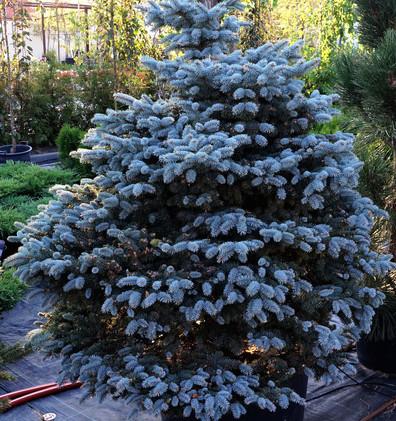 Picea pungens Montgomery_1.JPG
