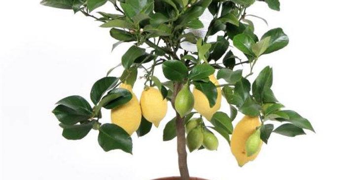 Citrus Lemon Op Stam